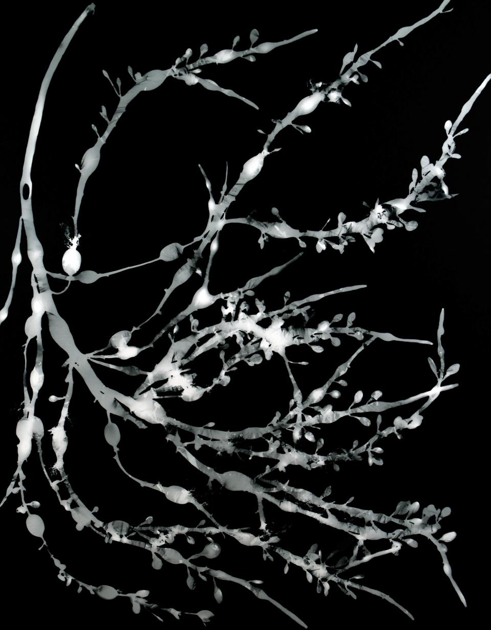Ascophyllum nodosom II