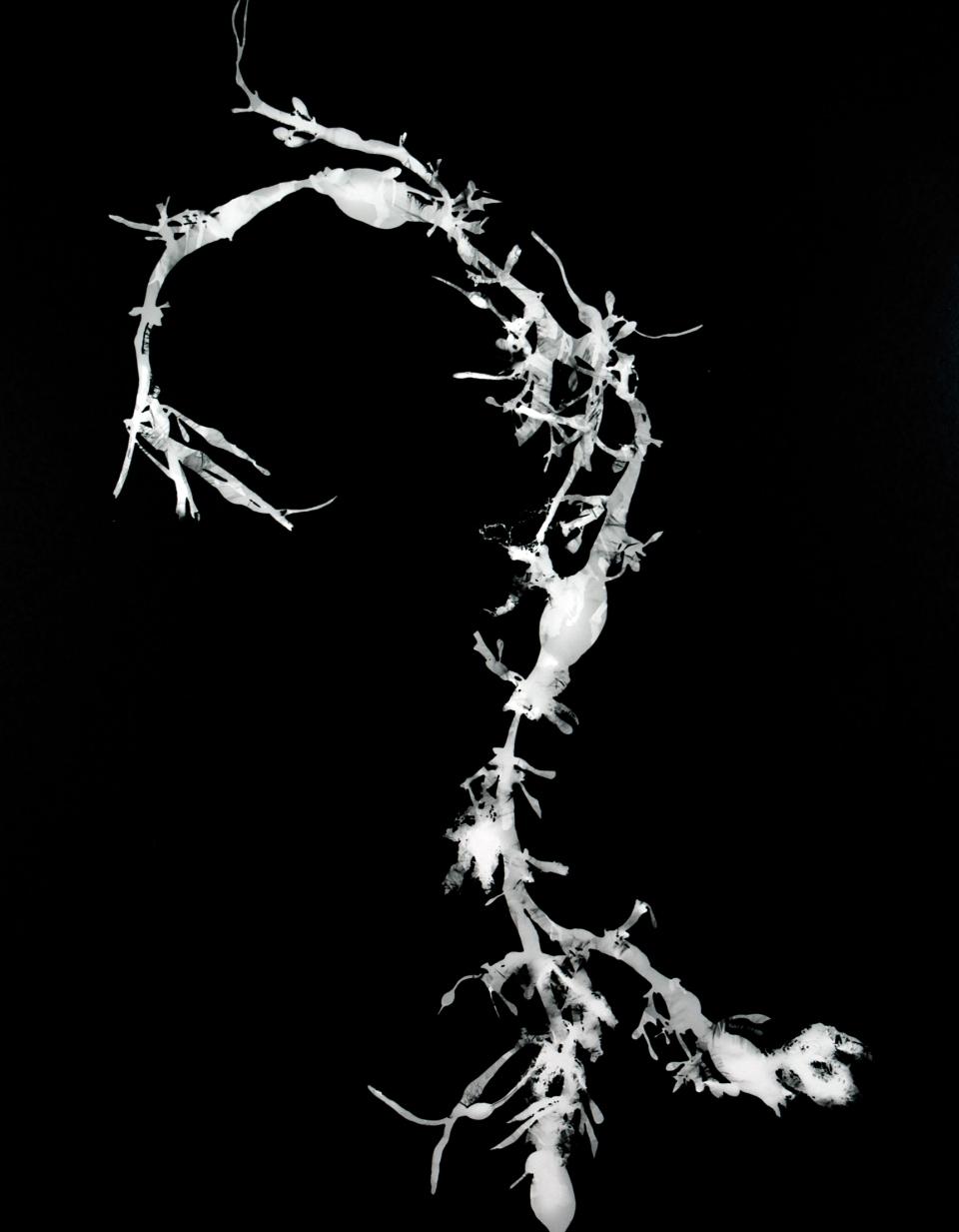Ascophyllum nodosom