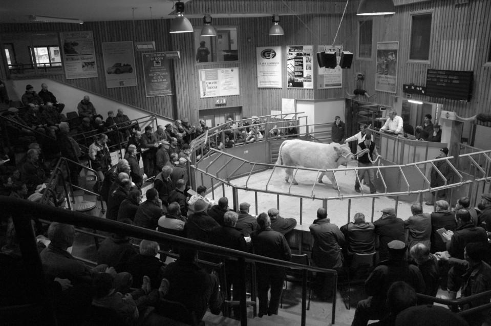 at bull sale