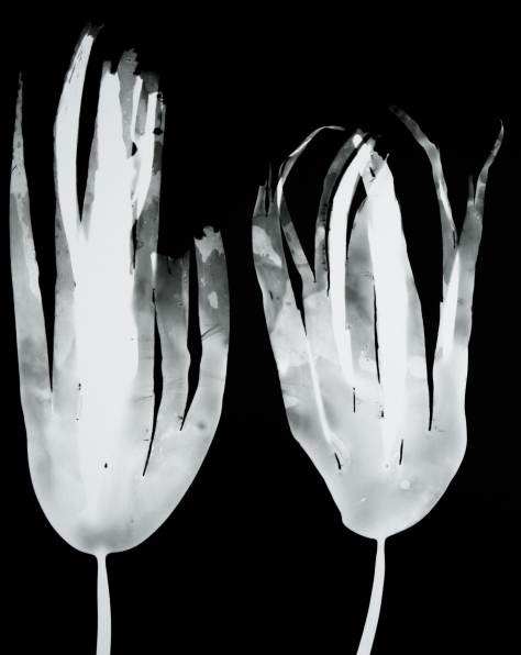 laminaria digitata III (pair)