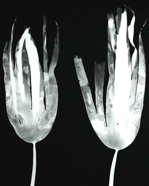 laminaria digitata IV (pair)