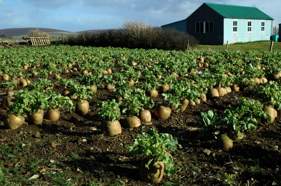 turnips-uvigar