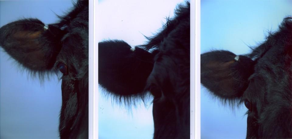 3 cowheads