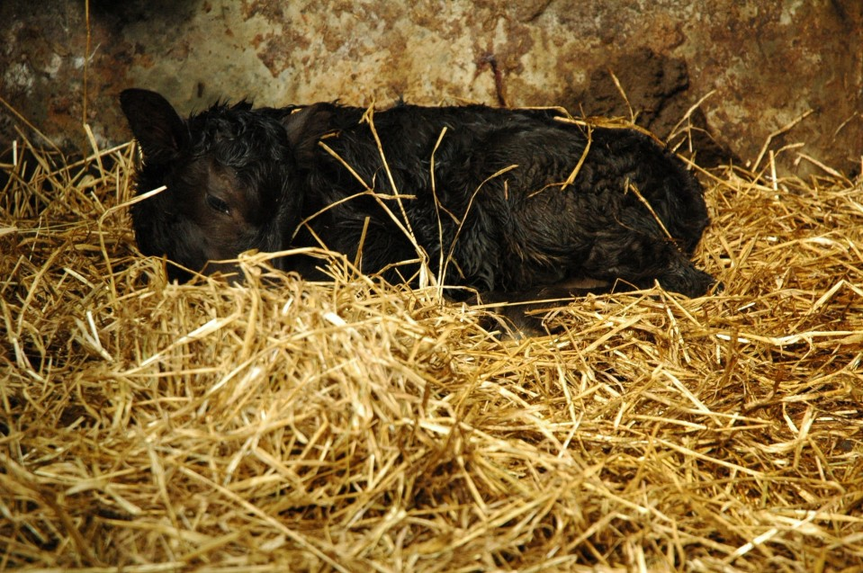 black newborncalf