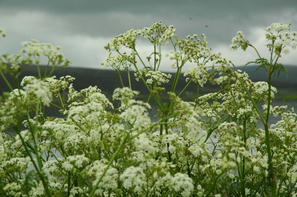 cow parsley june