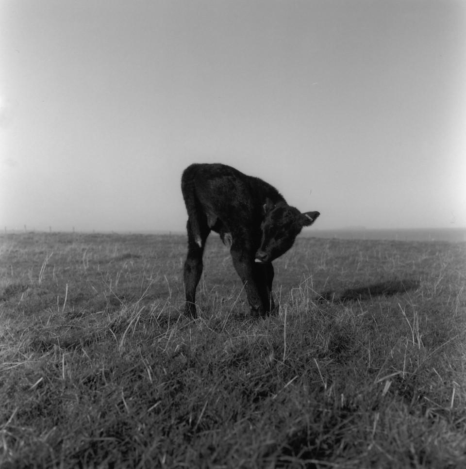 shetland calf licking