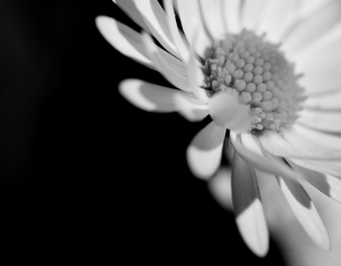 DSC_1767(daisy1)